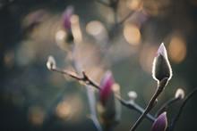 Closeup Magnolia Flower. Natur...