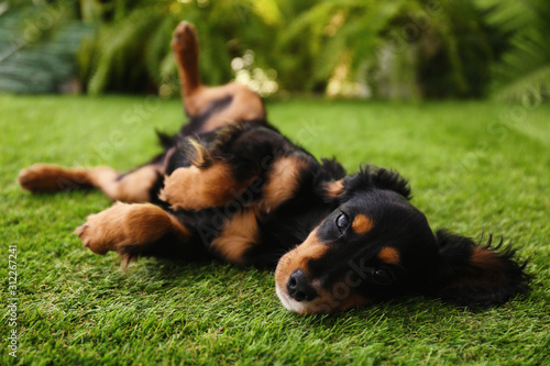 Fototapeta Cute dog relaxing on grass outdoors. Friendly pet obraz
