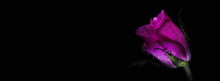 Banner For Valentine's Day, Women's Day, Wedding, Birthday. Large Beautiful Pink Rose On A Dark Background. Stylish Image, Copy Space, Horizontal. Minimalism. Romantic Concept.