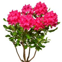 Pink Flower Of Rhododendron Bu...