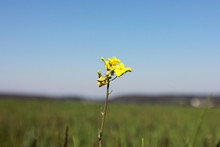 Ants Climb On Yellow Flower Cl...