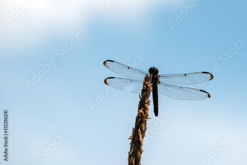 Vászonkép A dragonfly on a dried cornstalk contrasts nicely against a pretty blue and white sky in Missouri