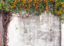 Old Cement Wall With Green Vines And Flower In Garden,Fuzhou,Fujian,China