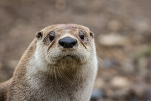 North American River Otter, Lo...