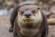 North American River Otter, Lontra Canadensis, Adorable, Lovable, Friendly And Clever, Looks Straight At Camera