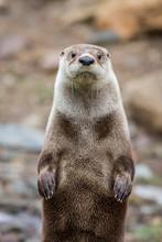 North American River Otter, Lo...