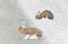 Snowshoe Hares On The Denali Park Road