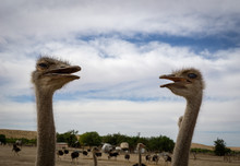 Ostriches Looking At Each Other
