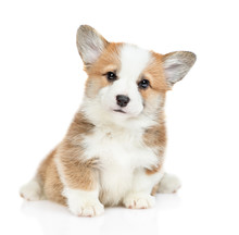 Cute Pembroke Welsh Corgi Puppy Sits Looks At Camera. Isolated On White Background