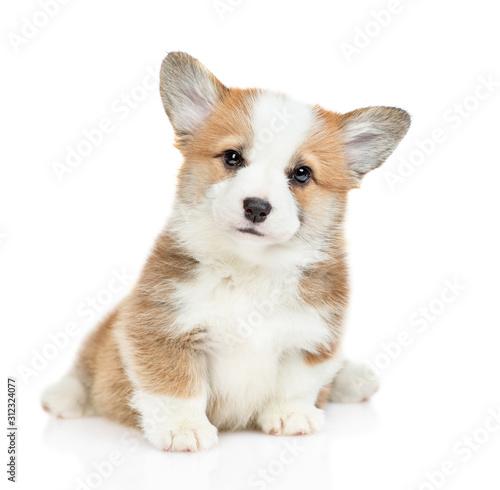 Carta da parati Cute Pembroke Welsh Corgi puppy sits looks at camera