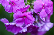 canvas print picture - Pink summer phlox flowers. Floral background.