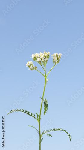 Fotografie, Obraz Common yarrow in bloom on meadow
