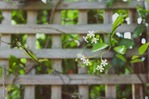jasmin plant with tiny white flowers surrounded by greenery and fence bokeh outd Canvas Print