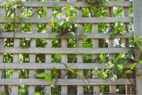 Photo jasmin plant with tiny white flowers surrounded by greenery and fence bokeh outd