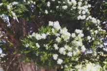 Native Australian Paper Bark Melaleuca Plant Outdoor In A Sunny Backyard