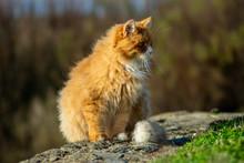 Un Magnifique Chat Roux à Poi...