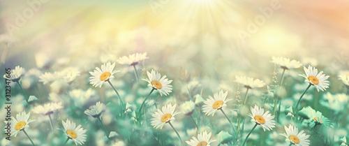 Fototapeta Selective and soft focus on daisy flower, daisy flower lit by sun rays - sunbeams obraz na płótnie