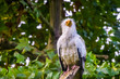closeup of a white egyptian vulture sitting on a tree branch, tropical scavenger bird specie from Africa