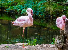 Lesser Flamingo Standing On One Leg At The Water Side, Near Threatened Bird Specie From America
