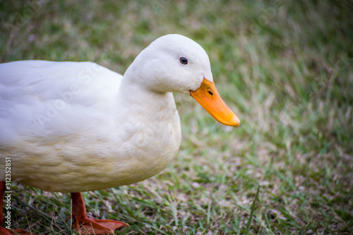 Stampa su Tela close up of white duck