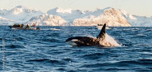 Obraz na plátně Orca / Killer Whale of Norway - Lofoten