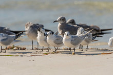 Sandwich Terns And Seagulls Congregate On The Beach
