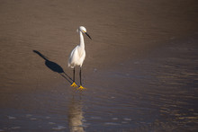 Snowy Egret Wading On The Beach