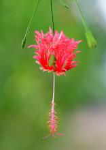 Coral Hibicus, Fringed Hibicus, Japanese Lantern, Spider Gumamela