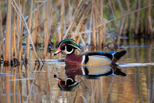 Wood Duck Swimming From Right ...