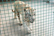 White Beautiful Majestic Tiger...