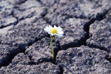 Tiny White Flower Broke Through Dry Cracked Earth