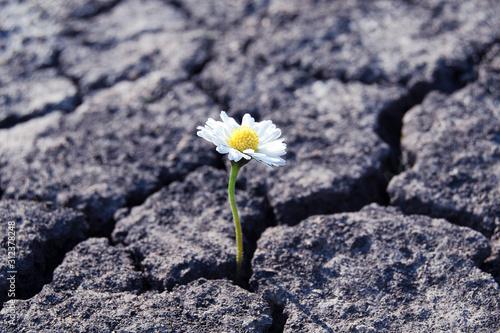 Photo tiny white flower broke through dry cracked earth