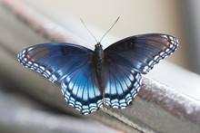 Butterfly 2019-169 / Red-spott...