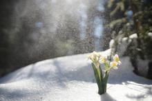 The First Spring Flower. Snowd...