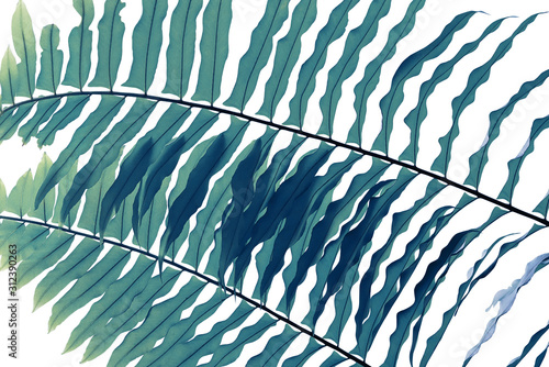 Fotografía  Tropical rainforest fern foliage plant leaf pattern on white, abstract nature background