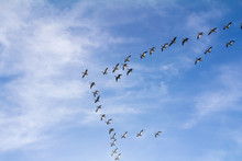 Flock Of Snow Geese In V-Forma...