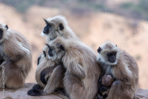 Monkeys at Savitri Mata Temple, Pushkar Canvas Print