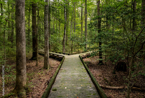 Concept of decision or choice using a wooden boardwalk in dense forest in Great Dismal Swamp © steheap