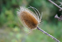 Dried Brown Thistle Seed Head