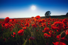 Meadow With Beautiful Bright Red Poppy Flowers In Spring. Poppies On Green Field. Rural Landscape With Red Wildflowers