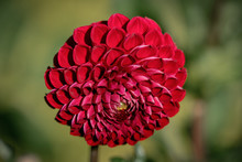 """Detailed Close Up Of A Red """"Jo..."""