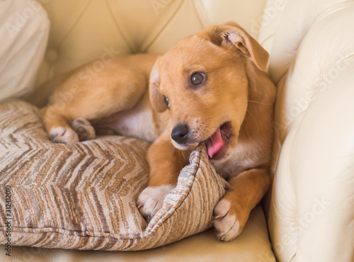 Photo Golden cute adopted half breed puppy playing with pillow and chewing it on couch