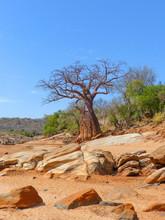 African Baobab (Adansonia Digitata) In A Dried Out Riverbed And Landscape Near Mangola Gorofani Tanzania Africa