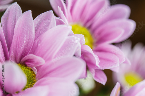 Fototapety, obrazy: Beautiful delicate pink chrysanthemums with dew drops after the rain is very close