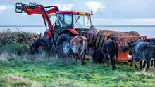 Tractor And Trailer With Hay Being Followed By Hungry Cows Waiting To Be Fed