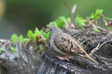 Ruddy Ground Dove (Columbina T...