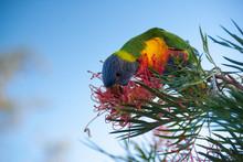 Australian Rainbow Lorikeet Parrot Eating Nectar Of A Red Bottlebrush Bush Blossom Against White Background
