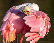 Roseate Spoonbill Close Up Of ...