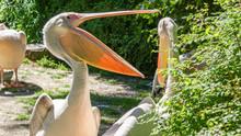 Portrait Of A Pelican Standing...