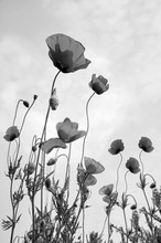 Poppy Flowers Black And White Photography